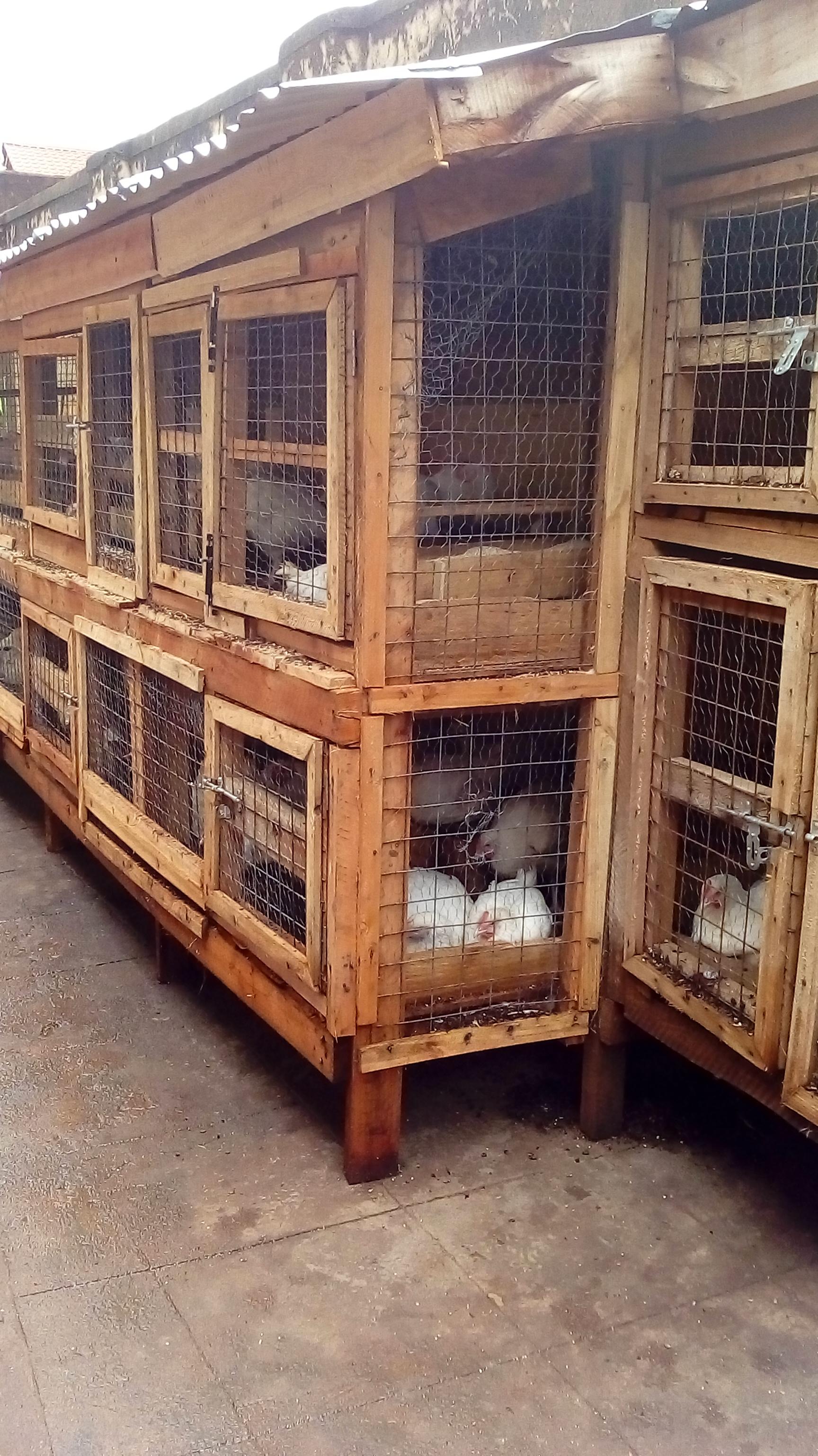 Chickens in Uganda